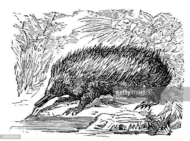 antique illustration of echidna or spiny anteater - echidna stock illustrations