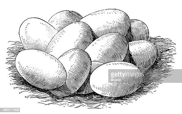 antique illustration of eggs of the common snake - animal egg stock illustrations, clip art, cartoons, & icons