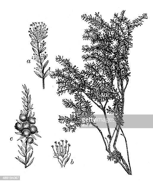 antique illustration of empetrum nigrum (crowberry or black crowberry) - plant stage stock illustrations, clip art, cartoons, & icons