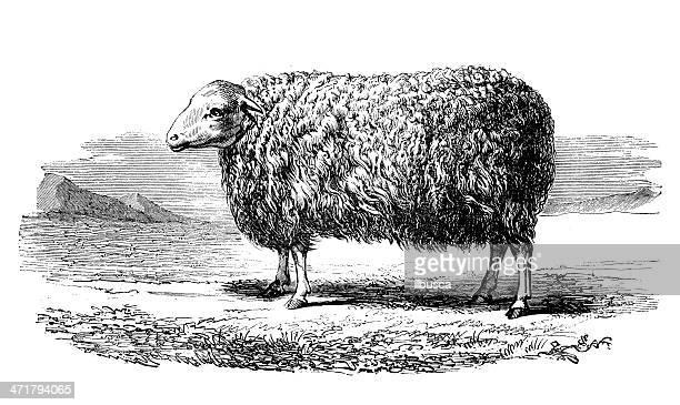 antique illustration of english leicester sheep - ram animal stock illustrations, clip art, cartoons, & icons