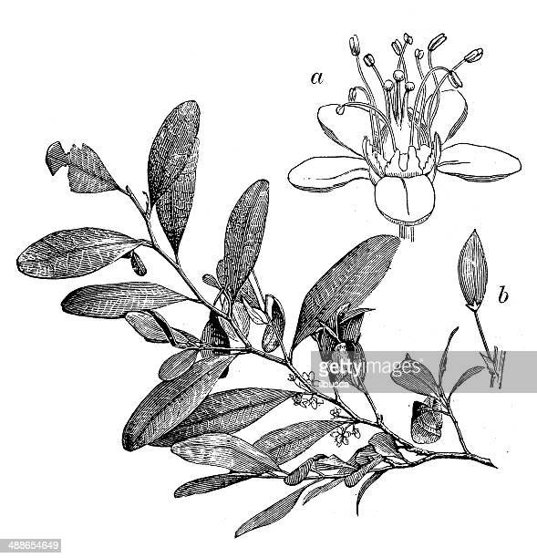 antique illustration of erythroxylum coca - cocaine stock illustrations, clip art, cartoons, & icons