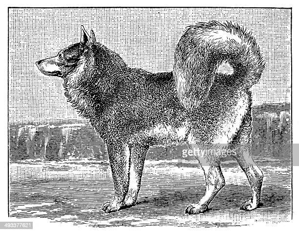 Antique illustration of Eskimo Dog