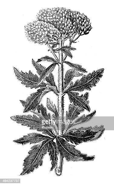 antique illustration of eupatorium cannabinum (hemp-agrimony) - hemp stock illustrations, clip art, cartoons, & icons
