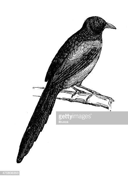 bildbanksillustrationer, clip art samt tecknat material och ikoner med antique illustration of eurasian magpie, european magpie (pica pica) - european magpie