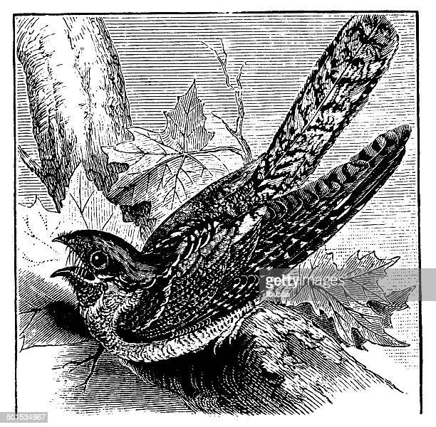 World's Best Nightjar Stock Illustrations - Getty Images