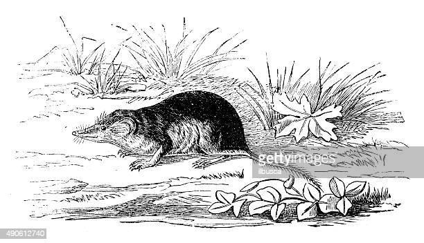 antique illustration of eurasian water shrew (neomys fodiens) - animal saliva stock illustrations, clip art, cartoons, & icons
