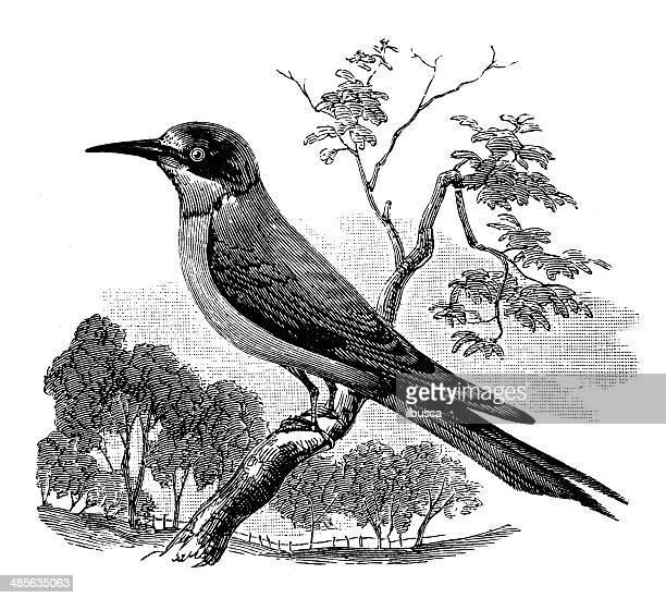 Ilustración de Europa antiguas abejaruco (Merops apiaster)