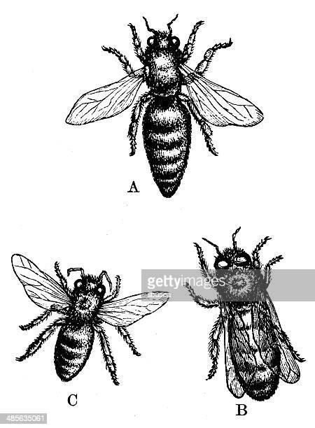 antique illustration of european honey bee (apis mellifera) - queen bee stock illustrations