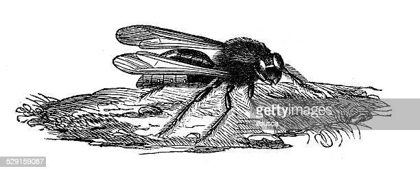 antique illustration of european hornet (vespa crabro) - vespa stock illustrations, clip art, cartoons, & icons