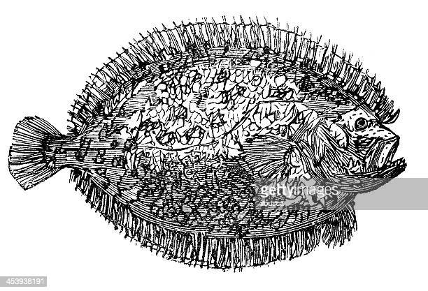 Antique illustration of European plaice (Pleuronectes platessa)