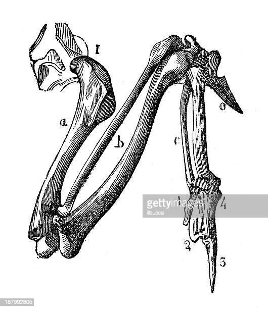 ilustrações de stock, clip art, desenhos animados e ícones de antiguidade ilustração de falcon asa ossos - falcon bird
