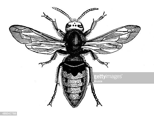 antique illustration of female hornet (vespa crabro) - wasp stock illustrations, clip art, cartoons, & icons