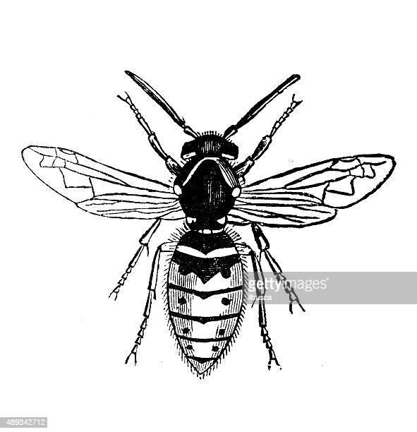 antique illustration of female wasp (vespa vulgaris) - vespa stock illustrations, clip art, cartoons, & icons