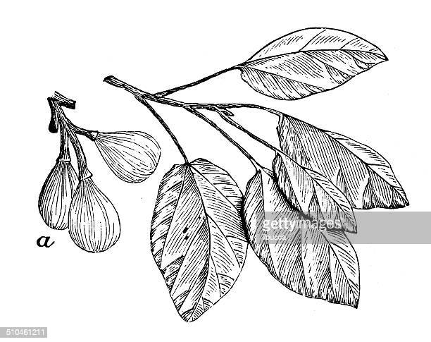 antique illustration of ficus sycomorus (sycamore fig) - fig tree stock illustrations