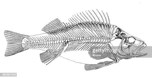 antique illustration of fish skeleton - animal skeleton stock illustrations, clip art, cartoons, & icons