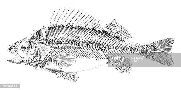 Antique illustration of fish skeleton