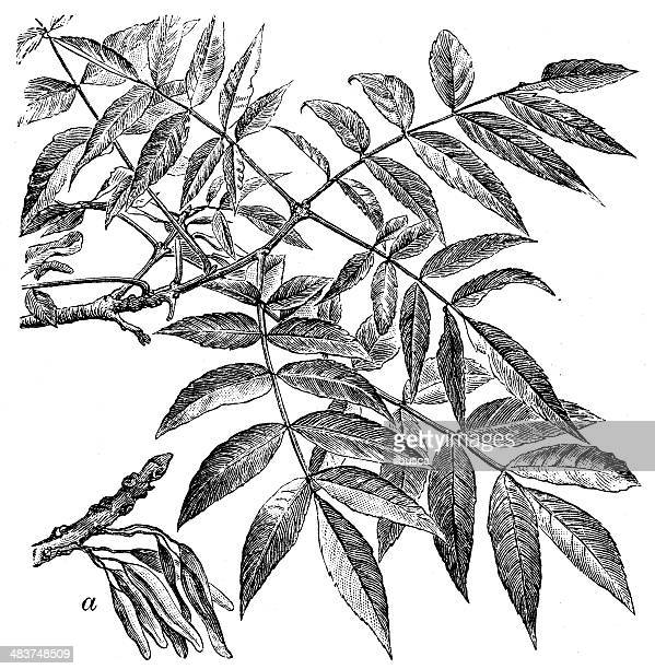 antique illustration of fraxinus excelsior (european ash or common ash) - ash stock illustrations, clip art, cartoons, & icons