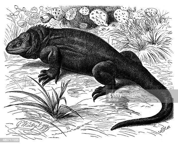 Antique illustration of Galapagos land iguana (Conolophus subcristatus)