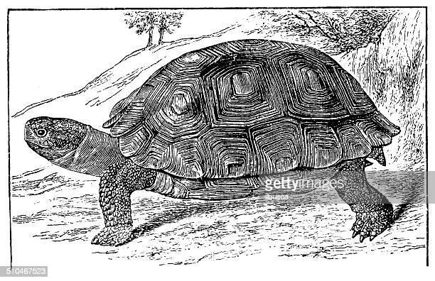 Antique illustration of Galápagos giant tortoise (Chelonoidis nigra)