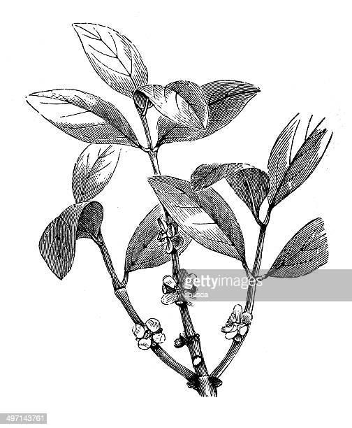 antique illustration of garcinia morella (gamboge) - comunidad autonoma de valencia stock illustrations