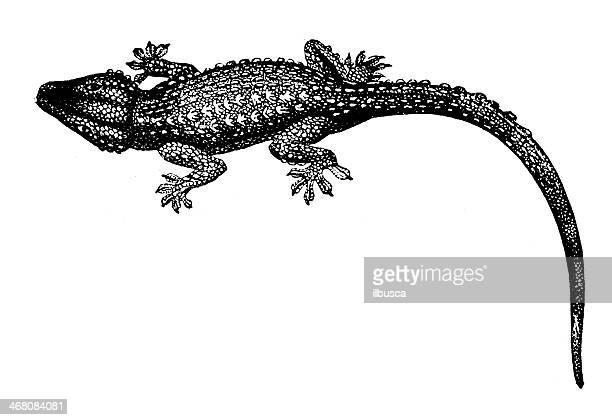 antique illustration of gecko - antique stock illustrations, clip art, cartoons, & icons