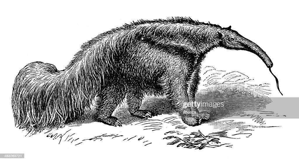 Antique illustration of giant anteater (Myrmecophaga tridactyla) : stock illustration