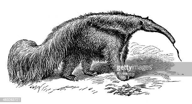 antique illustration of giant anteater (myrmecophaga tridactyla) - anteater stock illustrations