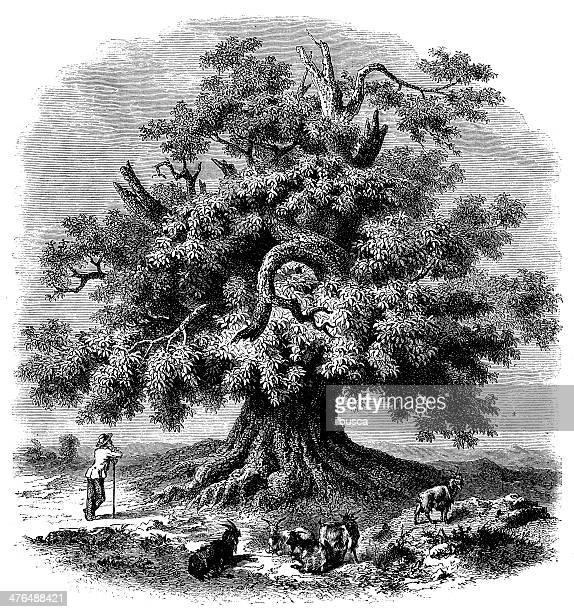 antique illustration of giant chestnut tree - chestnut food stock illustrations