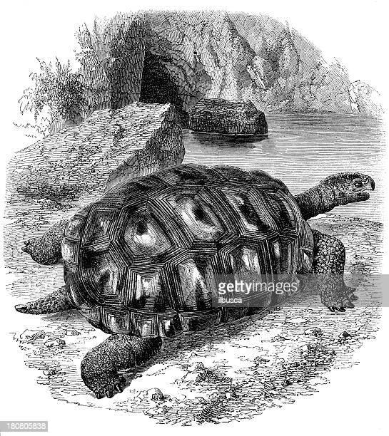 Antique illustration of giant turtle