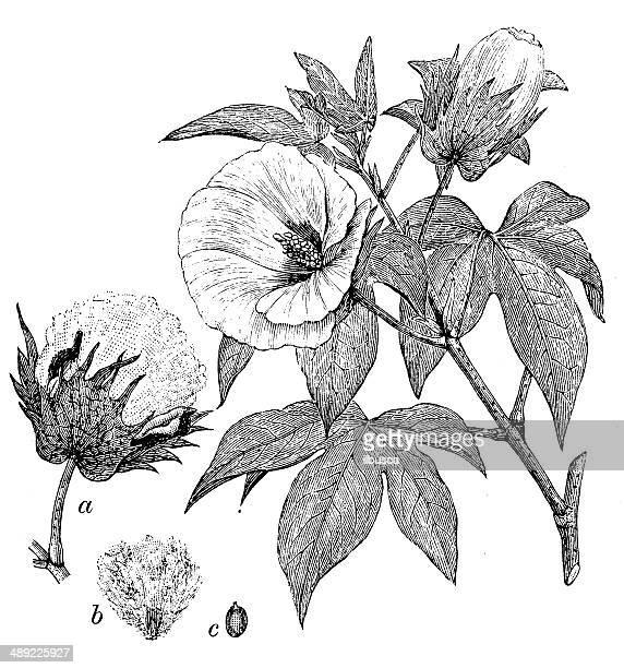 antique illustration of gossypium barbadense (extra long staple cotton) - cotton stock illustrations, clip art, cartoons, & icons