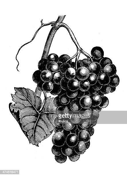 antique illustration of grapes (chasselas frankenthal) - grape stock illustrations, clip art, cartoons, & icons