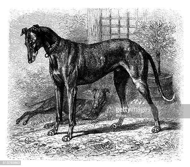 ilustraciones, imágenes clip art, dibujos animados e iconos de stock de anticuario ilustración de greyhound - galgo