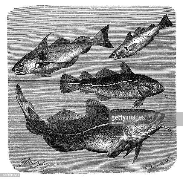Antique illustration of haddock, whiting and Atlantic cod