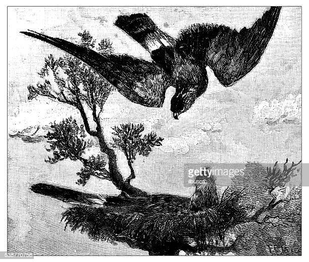 Antique illustration of hawk descending to nest