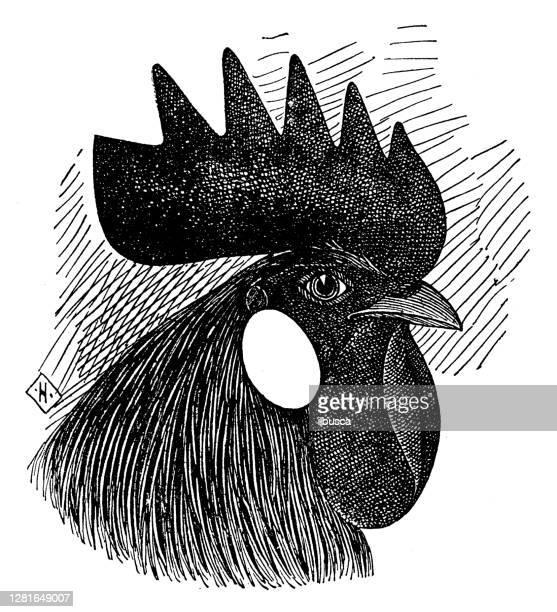 """illustrazioni stock, clip art, cartoni animati e icone di tendenza di antique illustration of head of single comb white leghorn cock - """"ilbusca"""""""