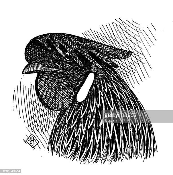 """illustrazioni stock, clip art, cartoni animati e icone di tendenza di antique illustration of head of single comb white leghorn hen - """"ilbusca"""""""