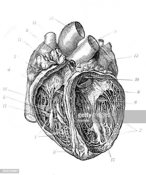 antique illustration of heart - biomedical illustration stock illustrations