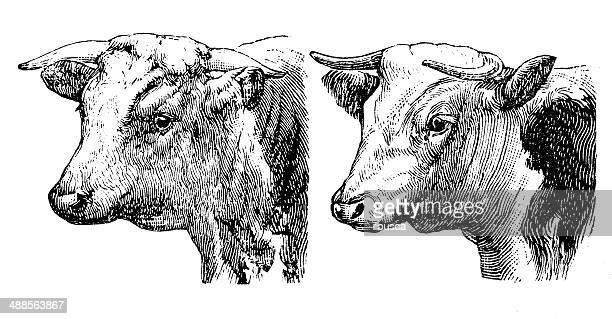 ilustraciones, imágenes clip art, dibujos animados e iconos de stock de anticuario ilustración de hereford bull y de cow - vacas