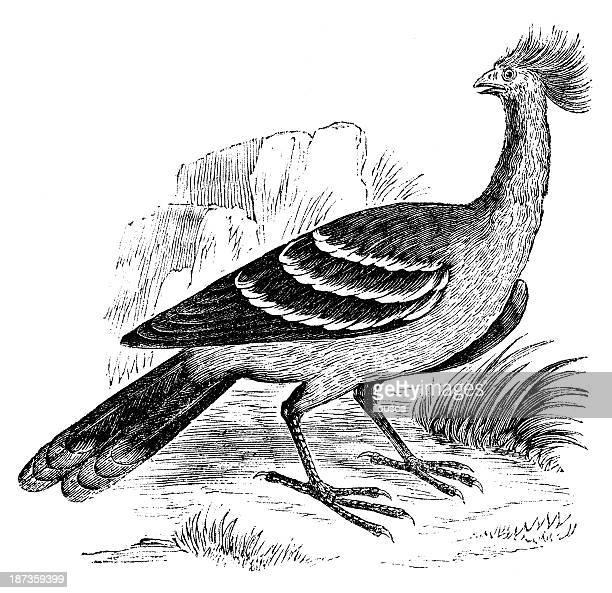 antique illustration of hoactzin, stinkbird or canje pheasant, (opisthocomus hoazin) - hoatzin stock illustrations