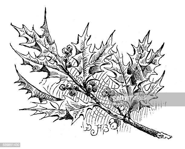 antique illustration of holly - mistletoe stock illustrations, clip art, cartoons, & icons