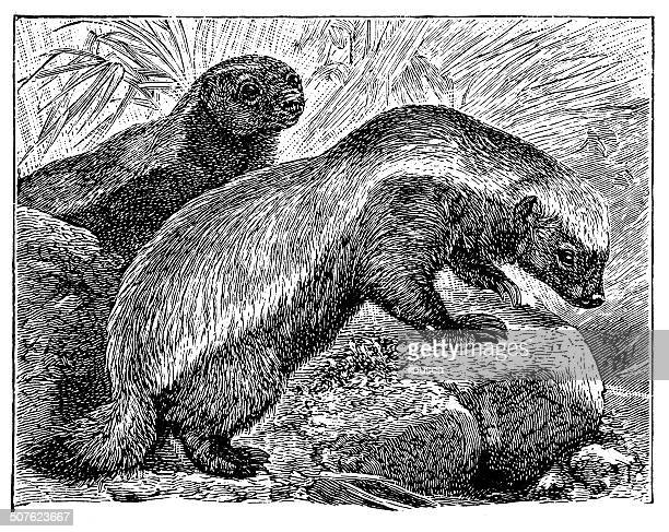 Antique illustration of honey badger (Mellivora capensis)