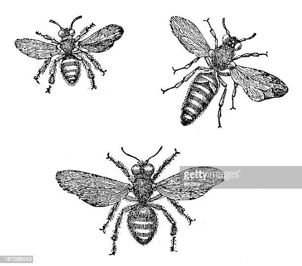 Antique illustration of honey bee (male, female, queen)