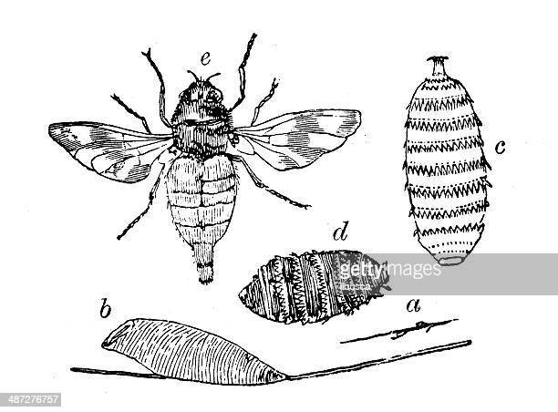 antique illustration of horse botfly - bot fly stock illustrations