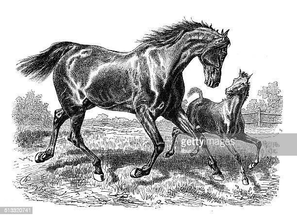 antique illustration of horse - horse family stock illustrations, clip art, cartoons, & icons
