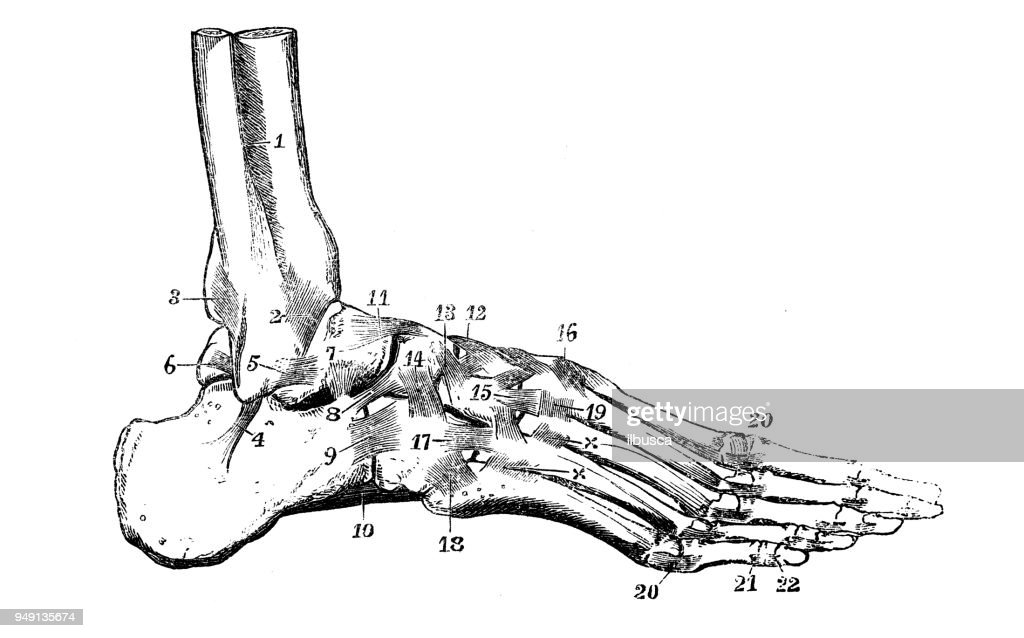 Antique Illustration Of Human Body Anatomy Ankle Foot Joint Stock ...