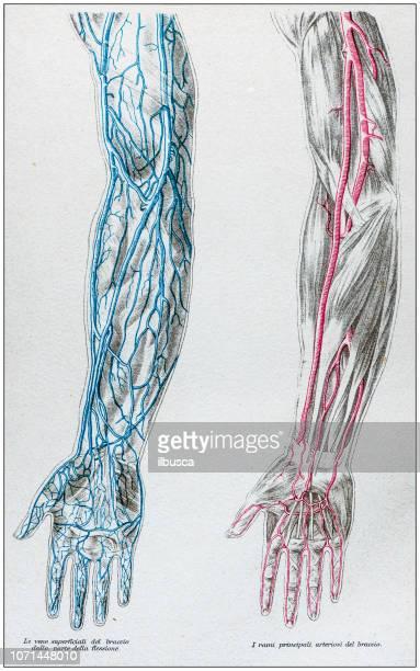 アンティークの人体解剖図: 腕の動脈と静脈 - 静脈点のイラスト素材/クリップアート素材/マンガ素材/アイコン素材