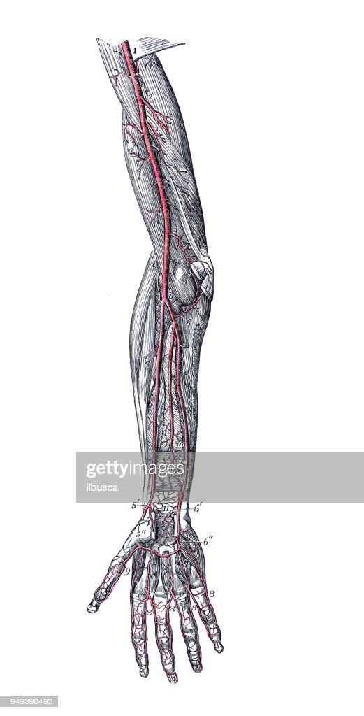 Antique Illustration Of Human Body Anatomy Arm Arteries Stock ...