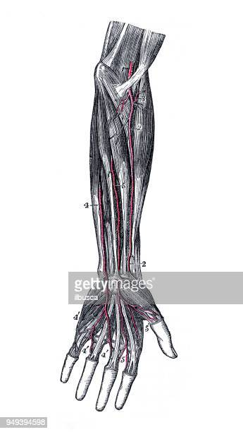 antique illustration of human body anatomy: arm arteries - forearm stock illustrations, clip art, cartoons, & icons