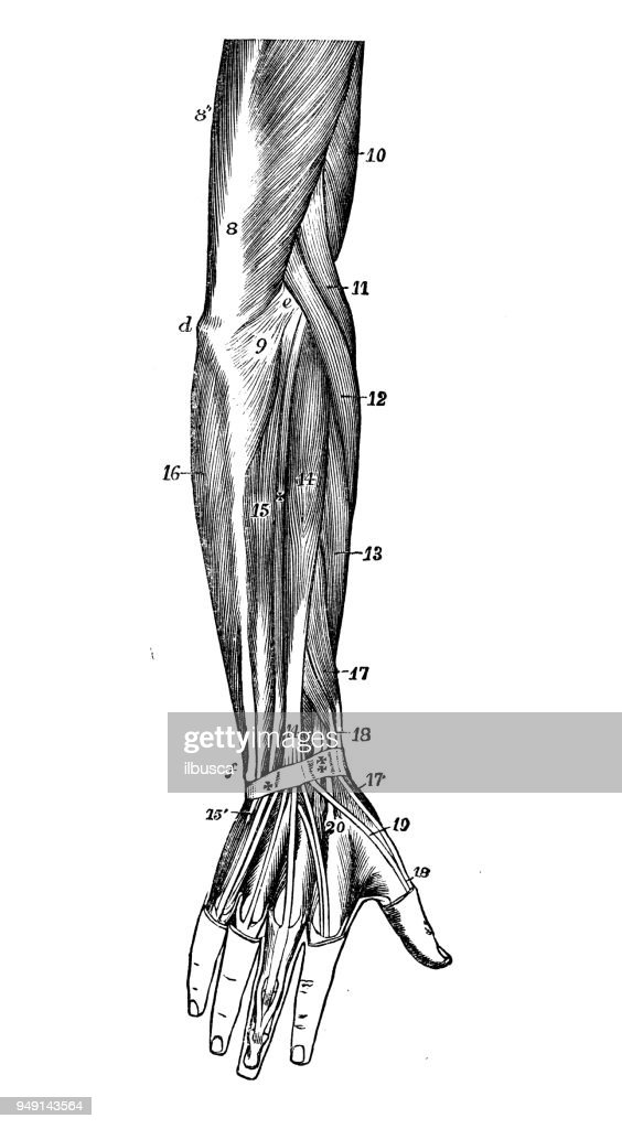 Anatomy Of Arm Muscles Image collections - human body anatomy