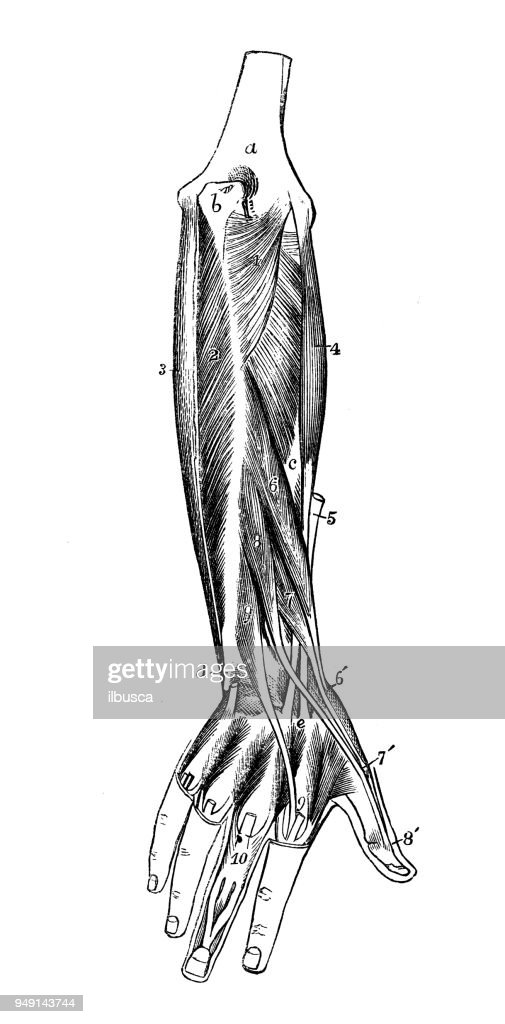 Antique Illustration Of Human Body Anatomy Arm Muscles Stock